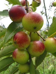 Camu-Camu fruit contains more vitamin C than any other known plant. It is also rich in calcium, iron, niacin and amino acids. It melts away wrinkles, lowers heart disease risk and has anti-cancer properties, among others. http://lifecare.eu.com/