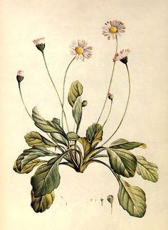 bellis perennis botanic (margarita)