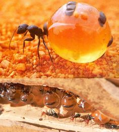 The honeypot ant - a perfect example of nature's strategy to survive in bad times. The honeypot ant or honey ant, is a normal ant species, but has adopted a special strategy to survive when there is a lack of food. Some of the working ants eat food and divert it into sweet syrup and save this syrup in their abdomens. For that, there abdomen grows big like a pot, sometimes to the size of a grape.