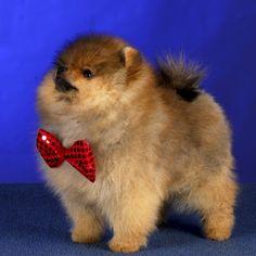 Click for Pomeranian Info  #pomeranian