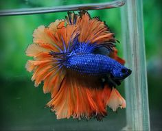 betta (aka Siamese fighting fish) looking very flamenco Life Under The Sea, Under The Ocean, Black Lab Names, Betta Fish Types, Fish Care, Beta Fish, Fish House, Siamese Fighting Fish, Little Fish