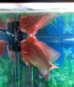 947 Best Flowerhorn Louhan images in 2019 | Cichlids, Aquarium Fish