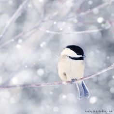 Fine Art Bird Photography Print of Chickadee in Snow, by Allison Trentelman | rockytopstudio.com