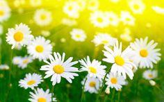 melhores imagens sobre Daisy no Pinterest Padrões de