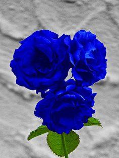 beautiful Blue Roses ;) ▶ TRY717.COM ◀코리아카지노