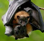 Flying fox bat holding her baby and hanging from a limb. Animals And Pets, Baby Animals, Cute Animals, Beautiful Creatures, Animals Beautiful, Bat Photos, Bat Flying, Cute Bat, Cute Baby Bats