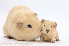 mother and baby Guinea pigs