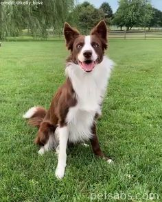 A collie dog showing off his tricks 😍 - border collie Red Merle Border Collie, Perros Border Collie, Border Collie Pups, Collie Dog, Pictures Of Border Collies, Happy Animals, Cute Funny Animals, Cute Baby Animals, Cute Dogs And Puppies