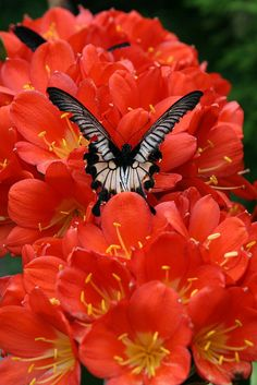 Black and white butterfly on a coral orange flower with yellow heart, similar to a geranium blossom. -DdO:) -  http://www.pinterest.com/DianaDeeOsborne/flowers-beyond-expected/