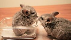 Baby chinchillas Boba and Tea take a dust bath for the first time. Their older brother, Saki, joins them later, but unfortunately he has outgrown the baby du. Animals And Pets, Baby Animals, Cute Animals, Chinchillas, Chinchilla Cute, Caber, Guinea Pig Toys, Beautiful Cat Breeds, Cute Cats And Kittens