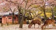 8. Nara Park, Nara | Japan | Pinterest | Deer, Falling leaves and ...