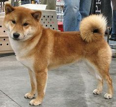 Shiba Inu - the smallest of Japan's native dog breeds. I really want to adopt one of these characters someday.  :)