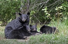 Black bear family in the Smoky Mountains
