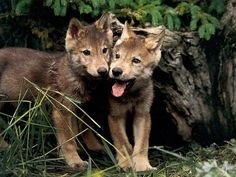 Two likeable wolf pups---Mom can i keep em'!!! PUHHH WEEEZE! :P