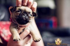 Sexy cachorro pug bebe