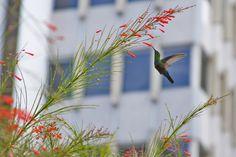 Popular Hummingbird, Hato Rey, Puerto Rico 2013 by Francisco Gierbolini on 500px