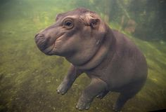 Adorable Baby Hippo Fiona Is Getting Her Own Video Series – The Cincinnati Zoo says its popular baby hippo will star in an internet video series called The… Baby Zoo, Baby Hippo, Cute Hippo, Cute Baby Animals, Animals And Pets, Animals Photos, Wild Animals, Fiona The Hippo, Cincinnati Zoo