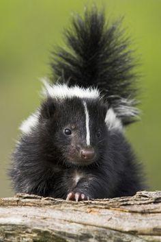Cuteness Alert!! Baby skunk relaxing on a tree stump