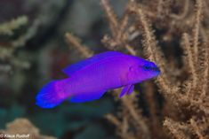 pseudochromis fridmani - Cerca con Google #SaltwaterAquariumBeginner