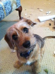 Pictures of Wirehaired Dachshund Dog Breed