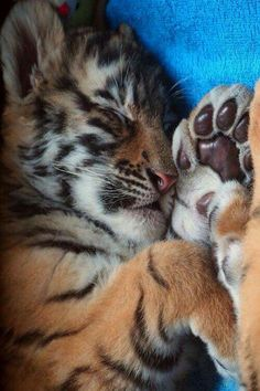 Tiger cub getting some