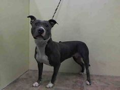 Manhattan Center    IVY - A1008437   *** EXPERIENCED HOME ***   FEMALE, GRAY / WHITE, PIT BULL MIX, 2 yrs  STRAY - STRAY WAIT, NO HOLD  Reason ABANDON   Intake condition NONE Intake Date 07/28/2014, From NY 10469, DueOut Date 07/31/2014  https://www.facebook.com/Urgentdeathrowdogs/photos/a.617938651552351.1073741868.152876678058553/847900685222812/?type=3&permPage=1