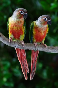 High-red Yellow Sided Green Cheek Conures. I just added one to my family =]