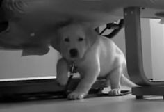 little Dublin.  a cute yellow lab in training to be a guide dog for the blind.