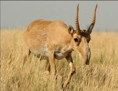 The saiga is a very distinctive looking antelope, with a large, proboscis-like nose which hangs down over its mouth. Nearly half of the global population of the critically endangered saiga antelope (Saiga tatarica) is feared dead in a mass die-off. Animals With Horns, Bizarre Animals, Ugly Animals, Unusual Animals, Rare Animals, Animals And Pets, Animal Species, Endangered Species, Weird Creatures