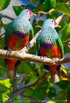 Mariana Fruit Doves, found in Guam and the Northern Marianas Islands in the Pacific Kinds Of Birds, All Birds, Little Birds, Love Birds, Tropical Birds, Exotic Birds, Colorful Birds, Pretty Birds, Beautiful Birds