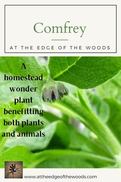 A homestead wonder plant benefitting both plants and animals Permaculture, Homesteading, Benefit, Herbs, Plants, Blog, Animals, Animales, Animaux