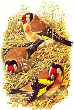 Goldfinch ~ Charles Tunnicliffe