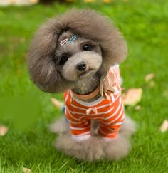 An adorable Asian styled groom. Cute Puppies, Cute Dogs, Dogs And Puppies, Doggies, Poodle Grooming, Pet Grooming, Yorky, Unique Cats, Dog Shedding