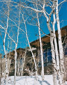 Modern homes look good with birch trees