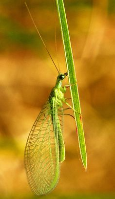 Chinese Green Lacewing, Chrysopa sinica
