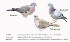 Herken de verschillende duiven #tuinvogeltelling