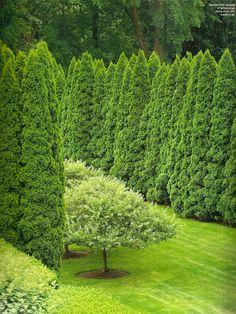 Connecticut garden by Stacey Bass. More than 150 arborvitae were used. Via www.quintessenceblog.com.