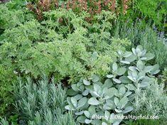 Sage 'Berggarten', Scented Geranium 'Lady Plymouth', Lavender 'Munstead', Lavender 'Provence', Santolina and Thyme Side Garden, Herb Garden, Vegetable Garden, Garden Plants, Garden Beds, Permaculture, Plant Design, Garden Design, Herbs