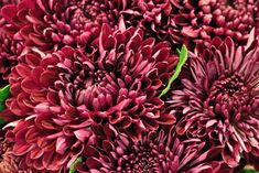 Single-Headed Bloom Incurve sheer purple Chrysanthemums at New Covent Garden Flower Market New Covent Garden Market, Flower Market, Burgundy, Bloom, Purple, Chrysanthemums, Flowers, Plants, Dark Red