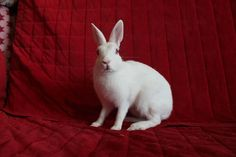 Ruby eyed white britannia petite youngster Narcissa