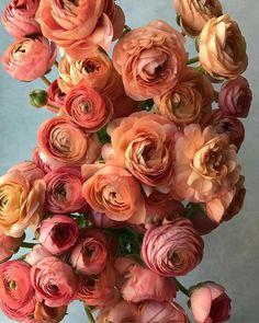 Cactus Flower, Flower Pots, Flowers Garden, Exotic Flowers, Beautiful Flowers, Purple Flowers, Fresh Flowers, Ranunculus Boutonniere, White Ranunculus