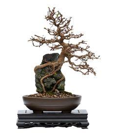 Japanese Hornbeam Bonsai Tree Over Rock