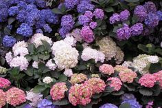 Hydrangea: Flowers will last better if they are cut when they are mature. If possible, cut some woody stem with the flower. Split and sear stems. Submerge in tepid water for several hours. Spray flowers with a fine mist of cool water.