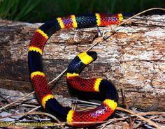 Top seres coloridos  Coral snake - dangerous
