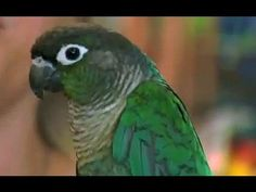 Exotic Birds: Green Cheeked Conure