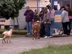 Crazy Goat Attacking People in Brazil...this video is HYSTERICAL!!!!