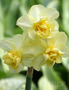 Yellow Cheerfulness is a variety of double daffodils which are great for naturalizing, perennializing and cut flowers! Description from hollandbulbfarms.com. I searched for this on bing.com/images