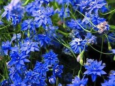 Wahlenbergia stricta double flowered form - Google Search
