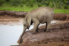 Image result for elephant drinking water