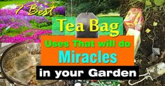 Before you toss another tea bag, must check out this post! Tea bags are not just for brewing tea, there are so many TEA BAG USES in the garden that can be useful. Garden Web, Balcony Garden, Garden Pests, Vegetable Garden, Outdoor Plants, Outdoor Gardens, Back Gardens, Fairy Gardens, Gardening Tips